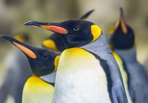 Los pingüinos de la Antártida emiten un gas que afectó a los científicos que los estudiaban