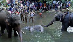 Muere una elefanta preñada al comer una fruta llena de…