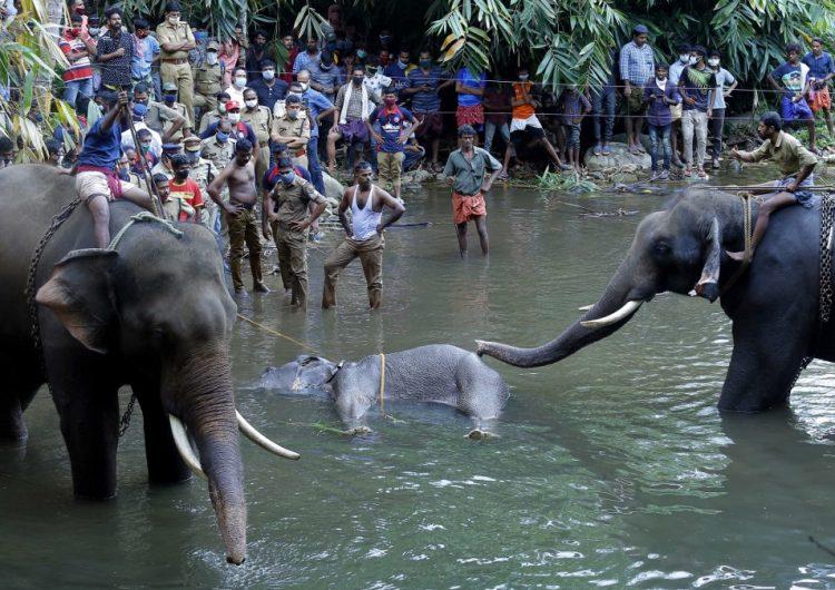 Muere una elefanta preñada al comer una fruta llena de petardos en India; arrestan a sospechoso
