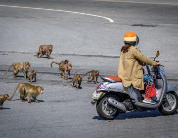 """La """"ciudad de los monos"""": cómo un grupo macacos tomó el control de una zona de Tailandia"""
