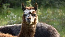 Los anticuerpos de las alpacas podrían servir para frenar el…