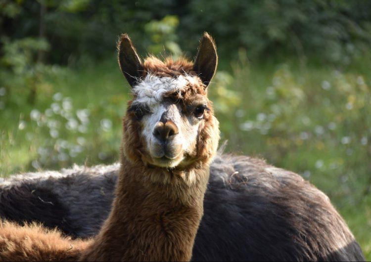 Los anticuerpos de las alpacas podrían servir para frenar el COVID-19