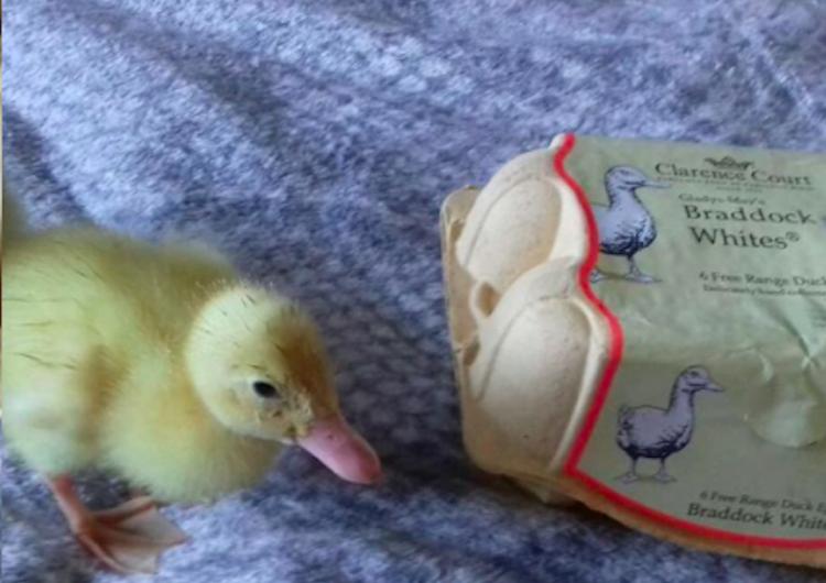 Mujer incuba huevos de supermercado y nacen tres patos