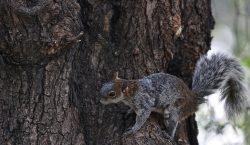 Encuentran una ardilla con peste bubónica en Colorado, EU