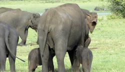 La muerte de cientos de elefantes en Botsuana podría deberse…