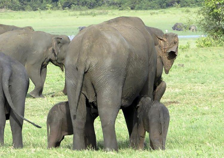 La muerte de cientos de elefantes en Botsuana podría deberse a una neurotoxina