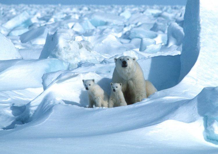 Adiós a los osos polares: científicos advierten de su posible extinción en menos de 80 años
