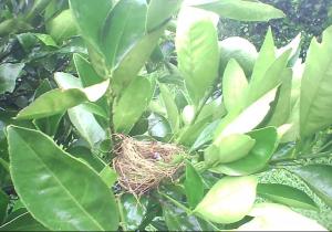 Avispa ataca a un polluelo en su nido y se come su cabeza