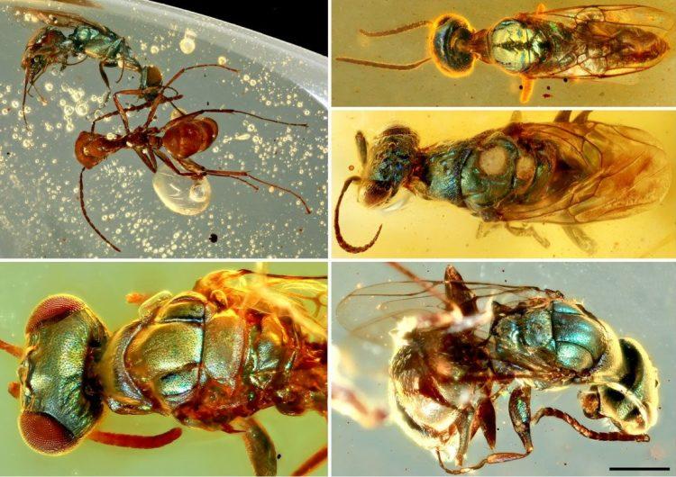 Fósiles conservados en ámbar revelan el verdadero color de los insectos de hace 99 millones de años
