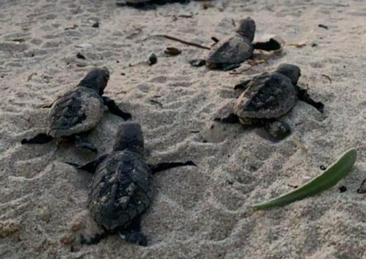 Montan operativo de protección para cuidar nidos de tortugas