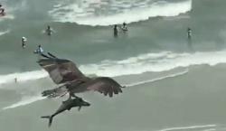 Ave va de 'cacería': vuela sobre la playa con un…