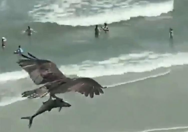 Ave va de 'cacería': vuela sobre la playa con un pez que luce como un tiburón