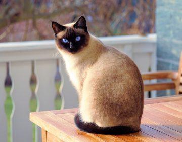 Reino Unido confirma el primer caso de COVID-19 en un gato