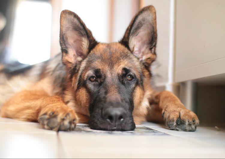 Muere el primer perro con COVID-19 en Estados Unidos