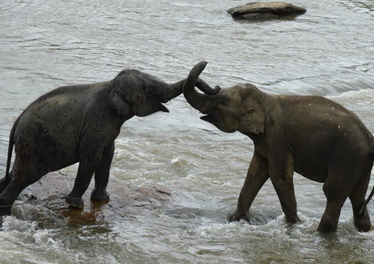 En Sri Lanka, el confinamiento por el COVID-19 ofrece un respiro a elefantes amenazados
