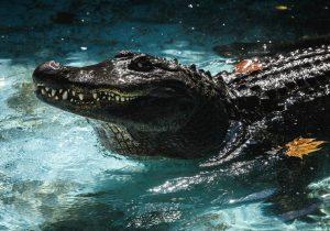 Conoce a Muja, el caimán en cautividad más viejo del mundo