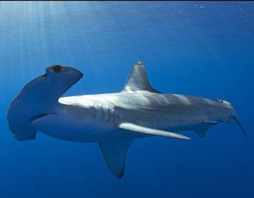 Las olas de calor en los océanos desplazan a las especies entre 10 y miles de kilómetros