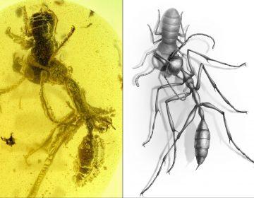 Hallan un fósil de 'hormiga del infierno' de 99 millones de años de antigüedad
