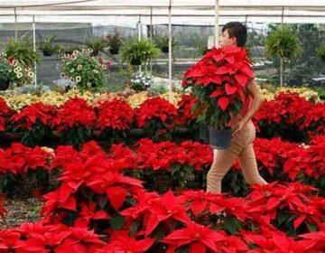 Productores de Nochebuena de Atlixco prevén desplome en ventas