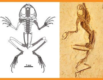 Encuentranfósil de nueva especie de rana de 119 millones de años