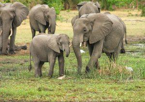 Zoológico de Polonia administrará cannabis medicinal a los elefantes para reducir su estrés