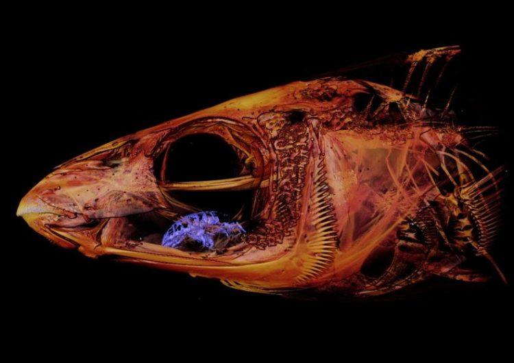 Imágenes muestran a un parásito que reemplaza la lengua de los peces y se alimenta de su sangre