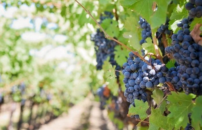 Avala Guardia Sanitaria realización de Ruta del Vino en Aguascalientes