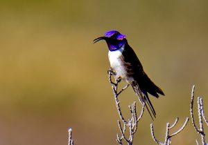 El colibrí ecuatoriano que maravilló a la ciencia con su canto de contratenor