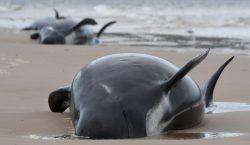 Mueren al menos 380 ballenas varadas en Australia