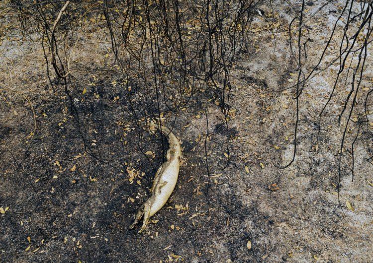 Tras sequía de 47 años, el fuego devasta el Pantanal brasileño; muchos animales están heridos o muertos