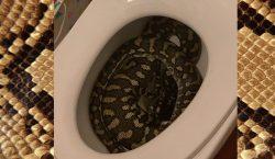 Serpiente pitón entra en el baño de una casa y…