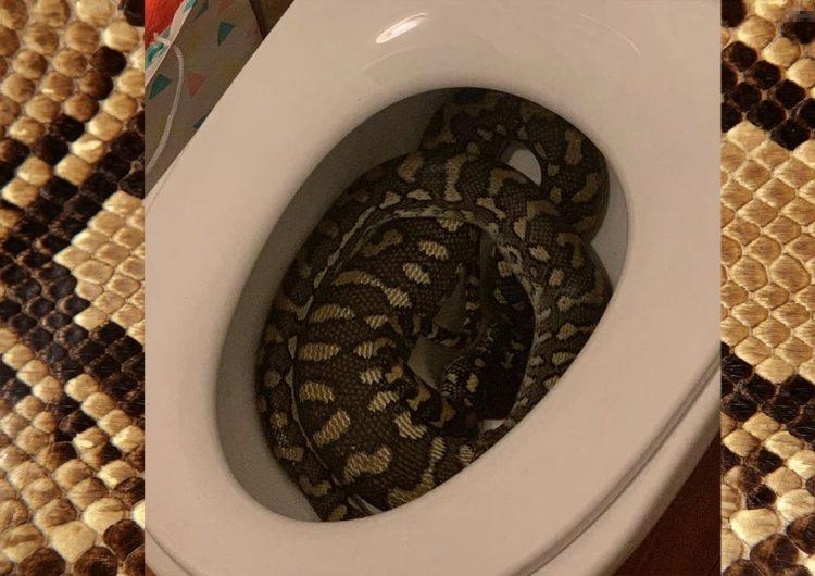 Serpiente pitón entra en el baño de una casa y se esconde en el inodoro