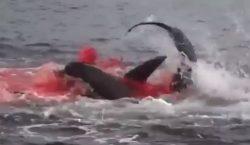 Un tiburón caza un león marino y el mar se…