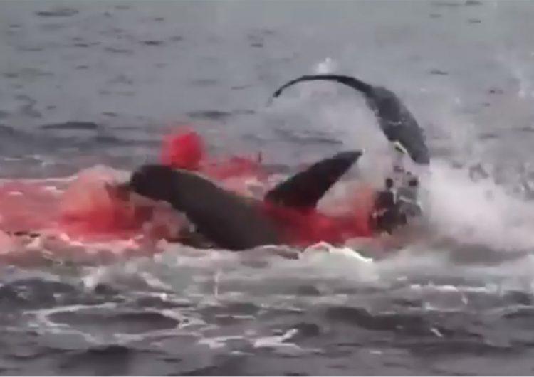 Un tiburón caza un león marino y el mar se tiñe de sangre