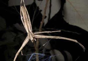 Estas arañas son capaces de oir y no tienen orejas
