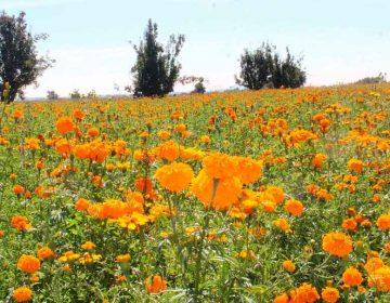 Flor de Cempasúchil atrae turistas a Atlixco
