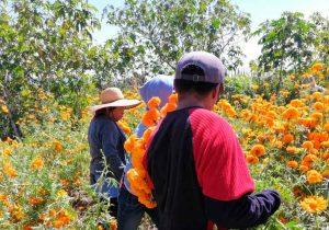 Productores de cempasúchil y terciopelo inician cosecha