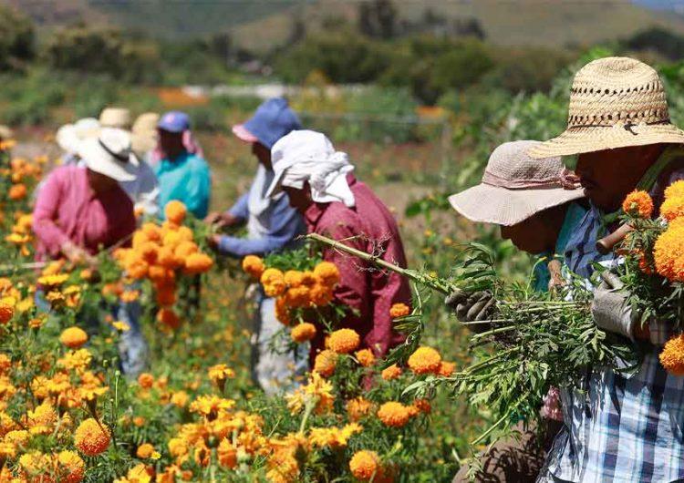 Productores de Cempasúchi decidieron no sembrar su campos