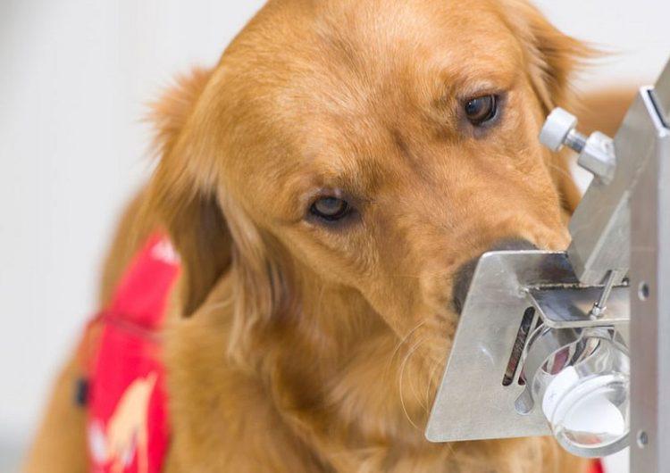 Cómo los perros pueden detectar síntomas de COVID-19 cinco días antes de que empiecen