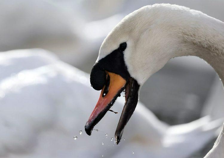 Extraños casos de cisnes: mueren tras sangrar por los orificios nasales y girar en círculos