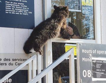 Un oso trata de entrar 'por la fuerza' a Canadá desde EU en un cruce fronterizo