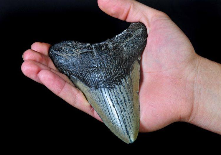 Una mujer en EU encuentra un diente de megalodón, el tiburón más grande que ha vivido jamás