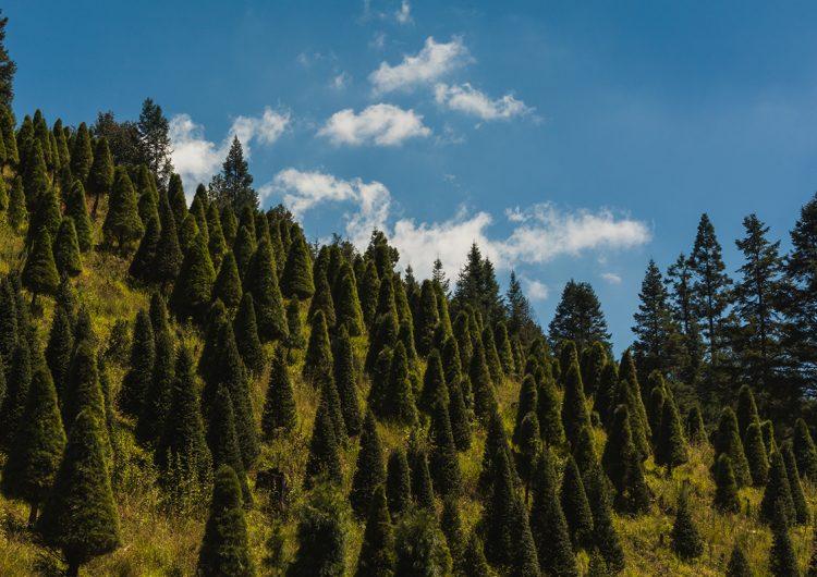 Árbol de Navidad natural y artificial… ¿cuál afecta menos al medioambiente?