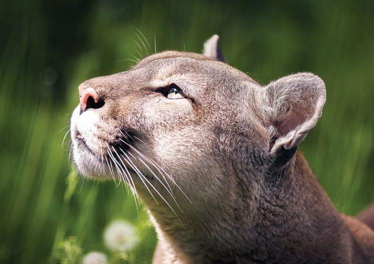 Pieles, garras, colmillos, miembros… el tesoro tras el tráfico ilegal de felinos