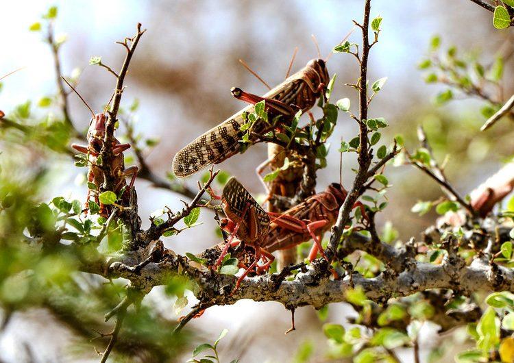 Enjambres de langostas amenazan la comida de millones de personas