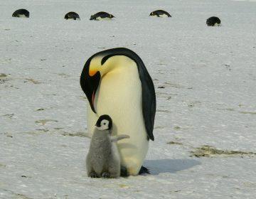Iceberg gigante amenaza la vida de colonias de pingüinos y focas en el Atlántico Sur
