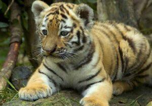 Familia poblana salió a pasear con un tigre