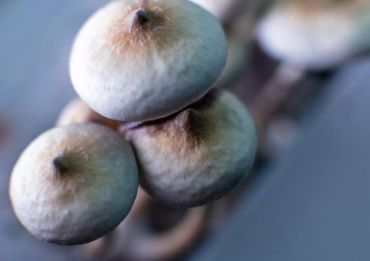 Hombre se inyecta hongos alucinógenos; sufre falla orgánica cuando estos le crecen en la sangre