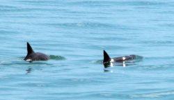 Solo quedan 12 vaquitas marinas: el Grupo de los Cien…
