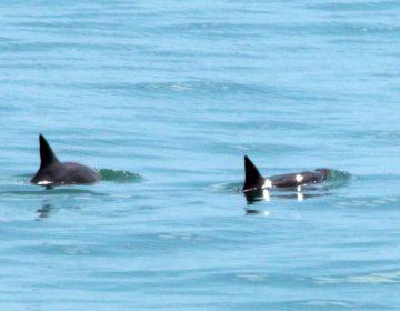 Solo quedan 12 vaquitas marinas: el Grupo de los Cien exige su protección